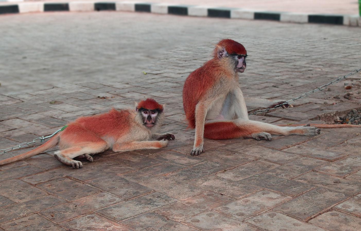 monkeys-at-ilaji-resort